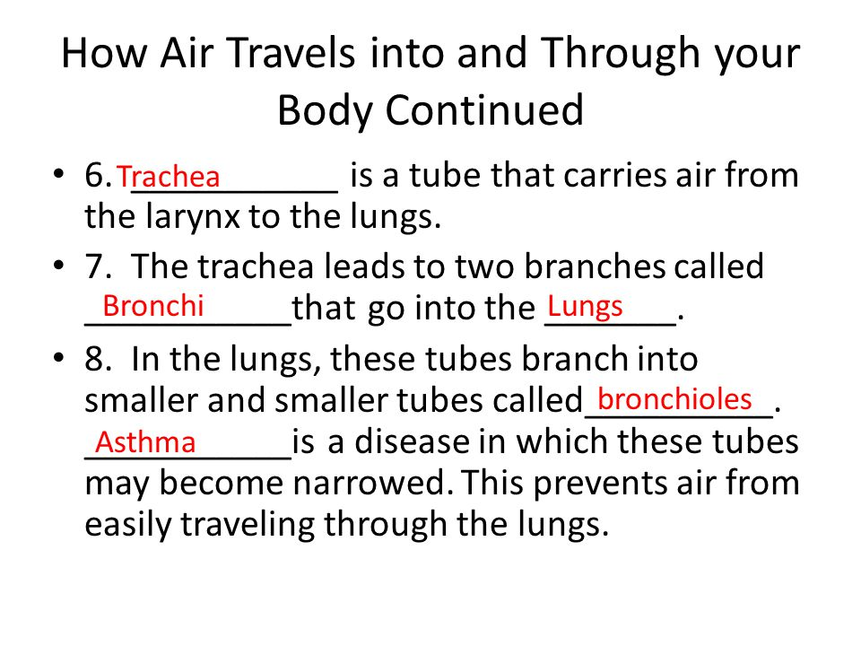 How Air Travels into and Through your Body Continued