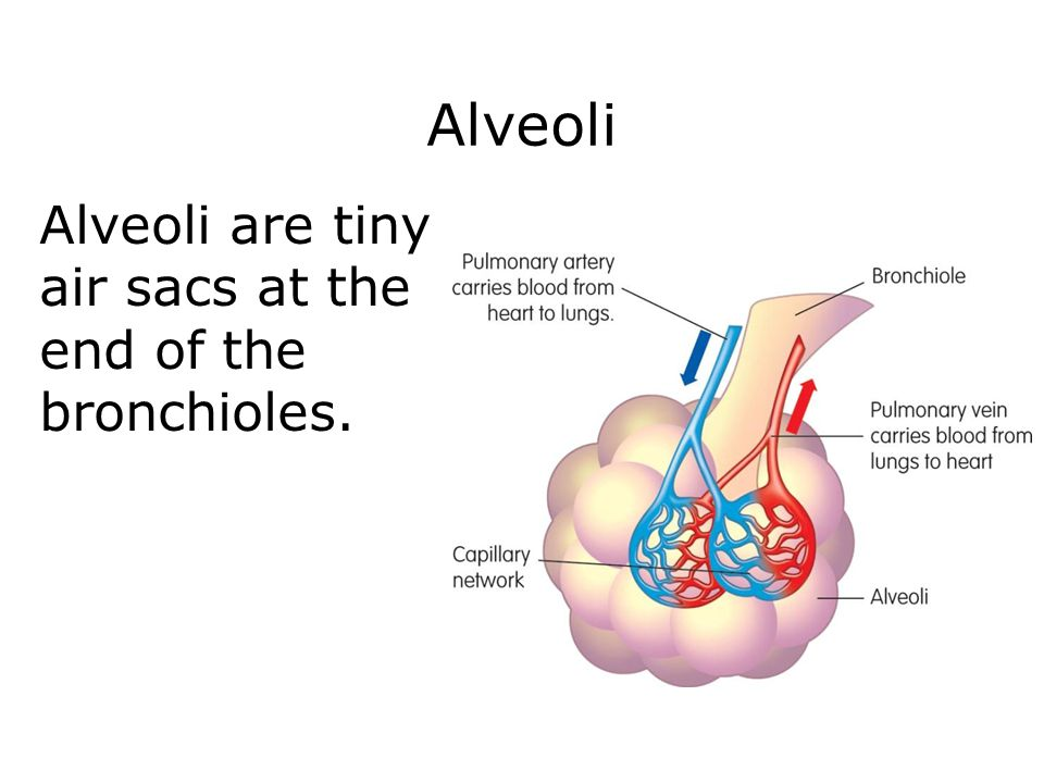 Alveoli Alveoli are tiny air sacs at the end of the bronchioles.
