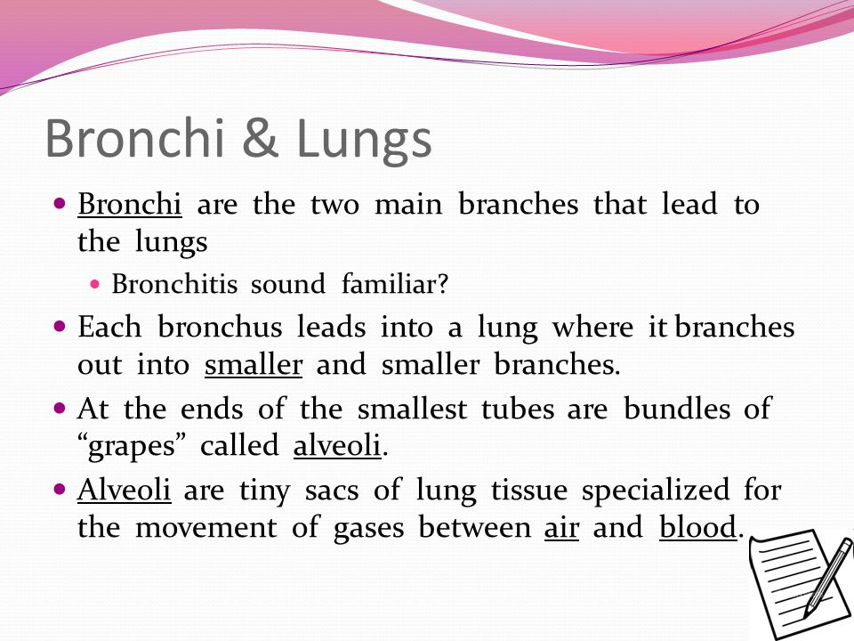 Bronchi & Lungs Bronchi are the two main branches that lead to the lungs. Bronchitis sound familiar