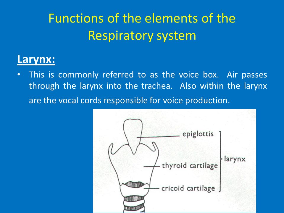Functions of the elements of the Respiratory system