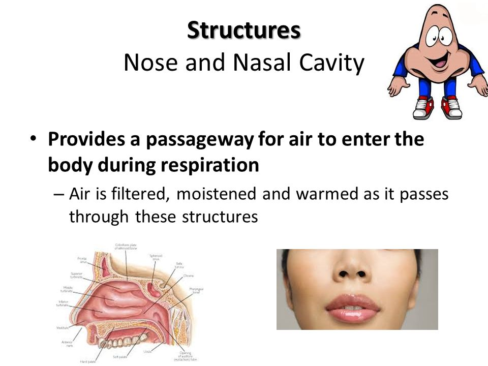 Structures Nose and Nasal Cavity