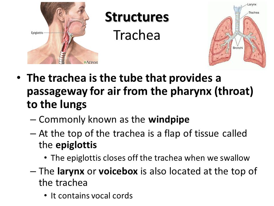 Structures Trachea The trachea is the tube that provides a passageway for air from the pharynx (throat) to the lungs.
