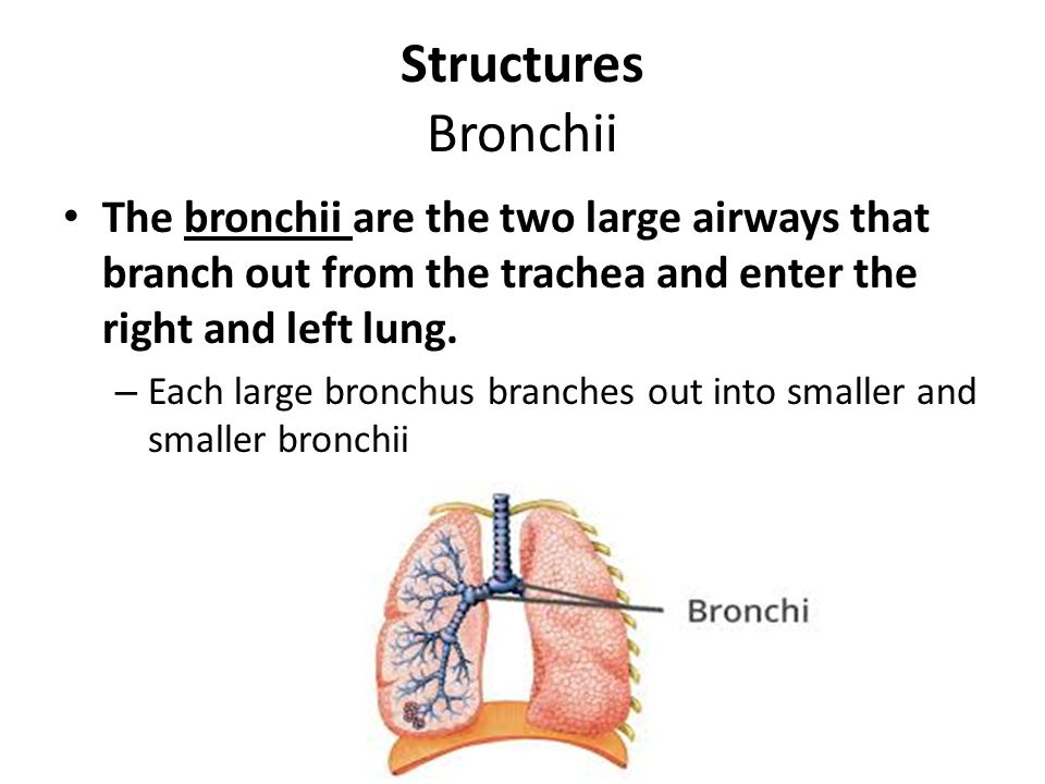 Structures Bronchii The bronchii are the two large airways that branch out from the trachea and enter the right and left lung.
