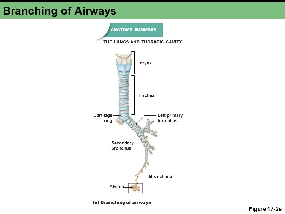 Branching of Airways Figure 17-2e Larynx Trachea Cartilage ring