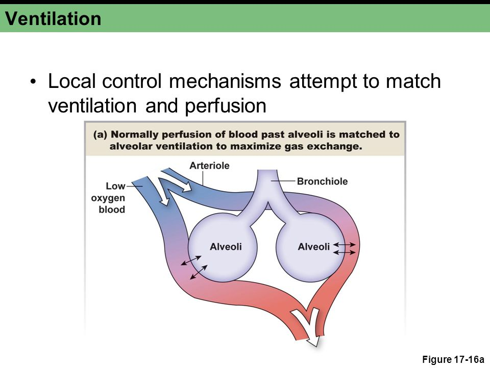 Local control mechanisms attempt to match ventilation and perfusion