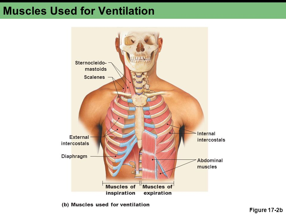 Muscles Used for Ventilation