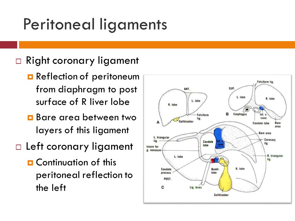 Peritoneal ligaments Right coronary ligament Left coronary ligament