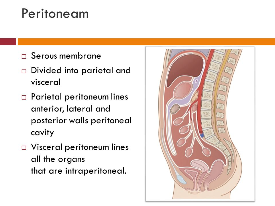 Peritoneam Serous membrane Divided into parietal and visceral