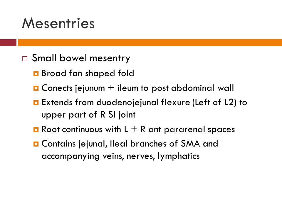 Mesentries Small bowel mesentry Broad fan shaped fold
