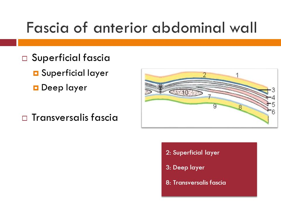 Fascia of anterior abdominal wall