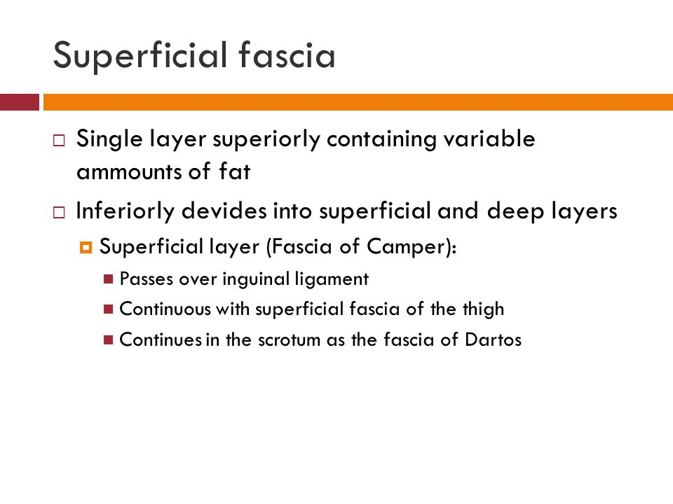 Superficial fascia Single layer superiorly containing variable ammounts of fat. Inferiorly devides into superficial and deep layers.