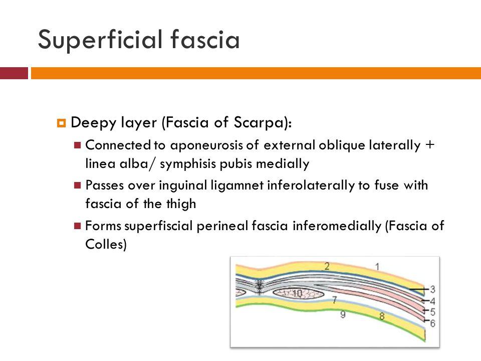 Superficial fascia Deepy layer (Fascia of Scarpa):