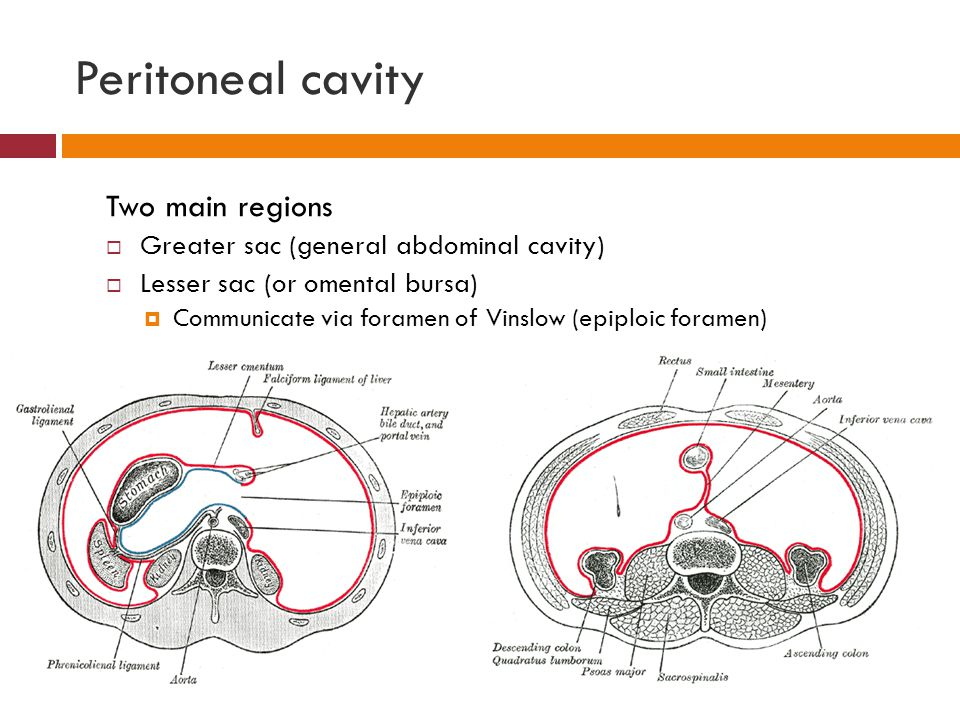 Basic Word Structure likewise 9659771 as well Organ Systems In The Ventral Body Cavity in addition 5155776 also 4156882. on ventral cavity organs