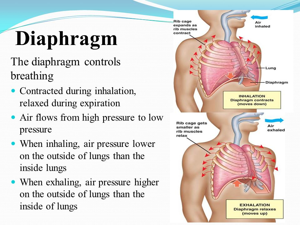 Diaphragm The diaphragm controls breathing