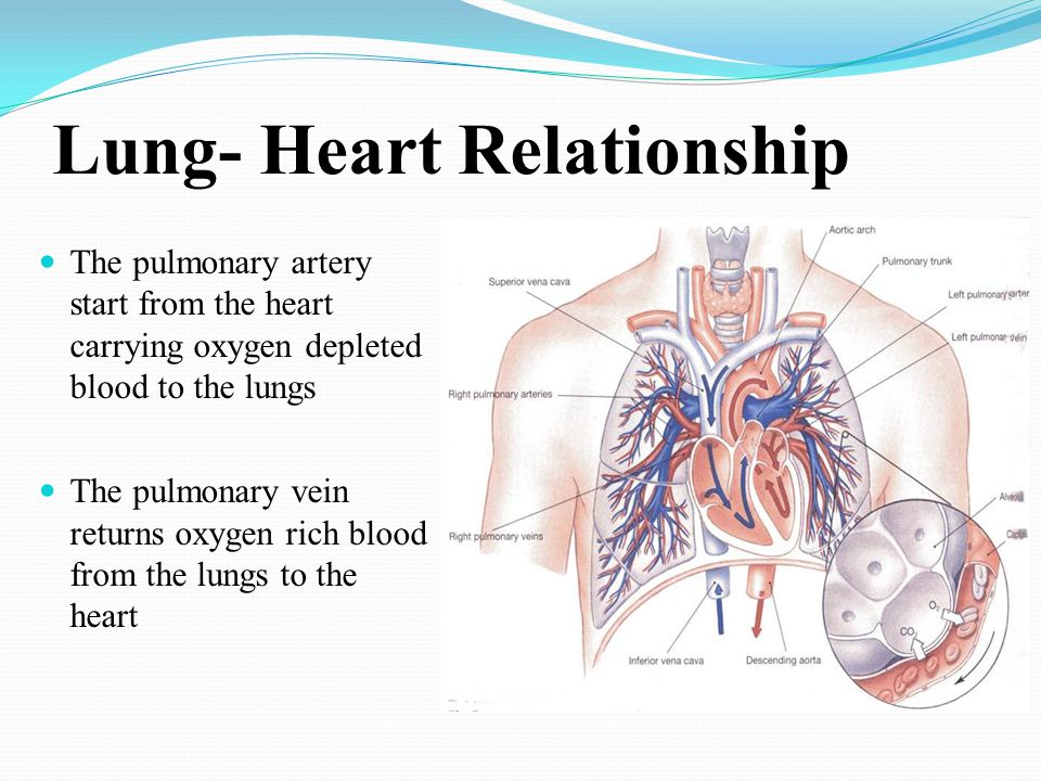 heart and lung relationship