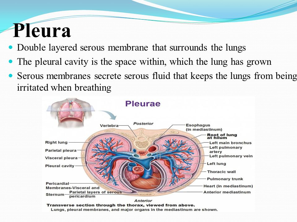 Pleura Double layered serous membrane that surrounds the lungs