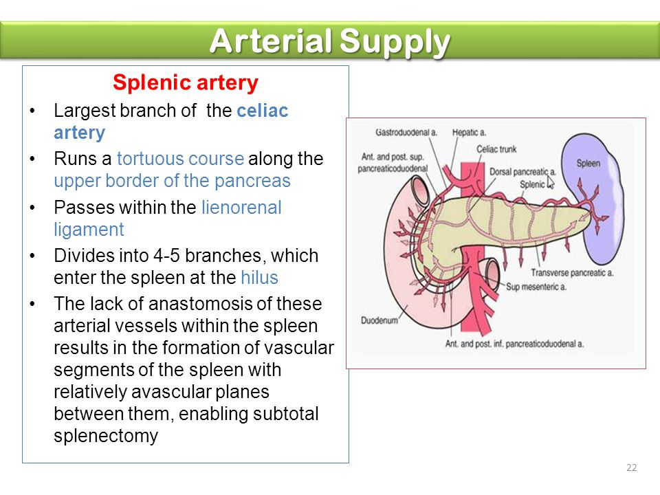 Arterial Supply Splenic artery Largest branch of the celiac artery