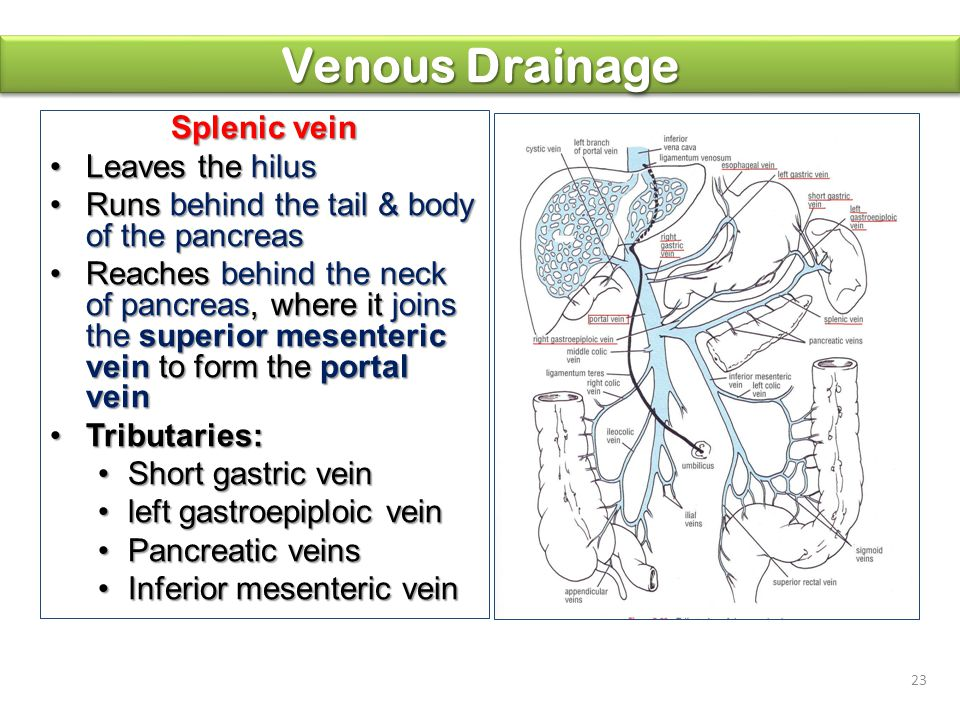 Venous Drainage Splenic vein Leaves the hilus