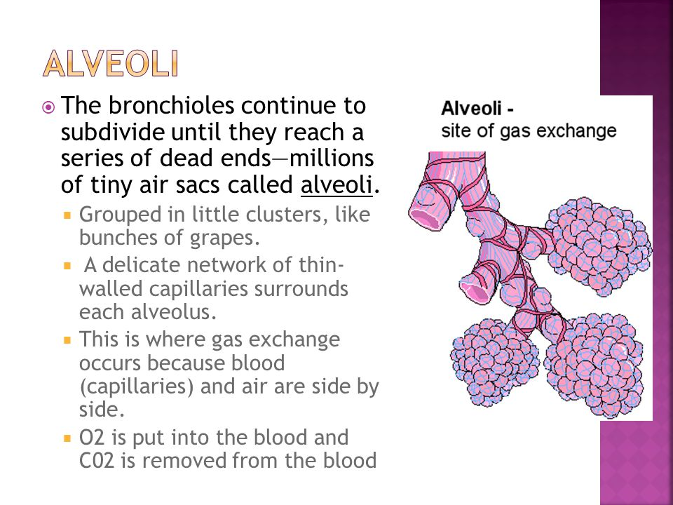 Alveoli The bronchioles continue to subdivide until they reach a series of dead ends—millions of tiny air sacs called alveoli.