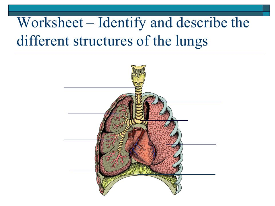 Worksheet – Identify and describe the different structures of the lungs