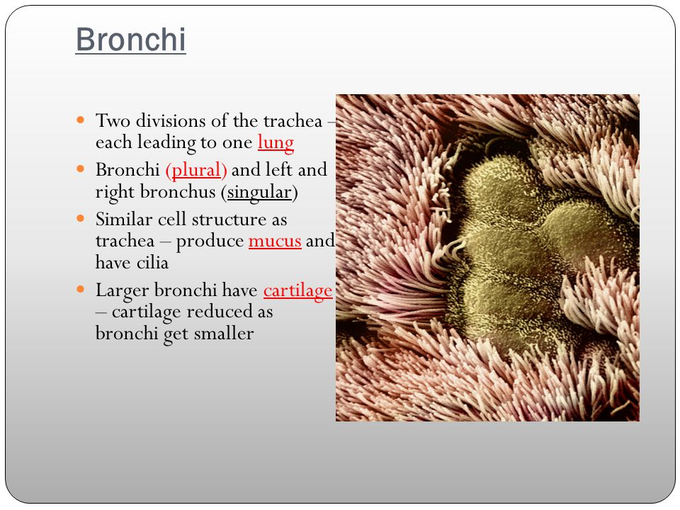 Bronchi Two divisions of the trachea – each leading to one lung