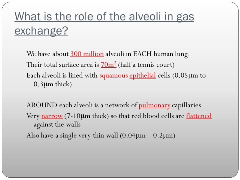 What is the role of the alveoli in gas exchange