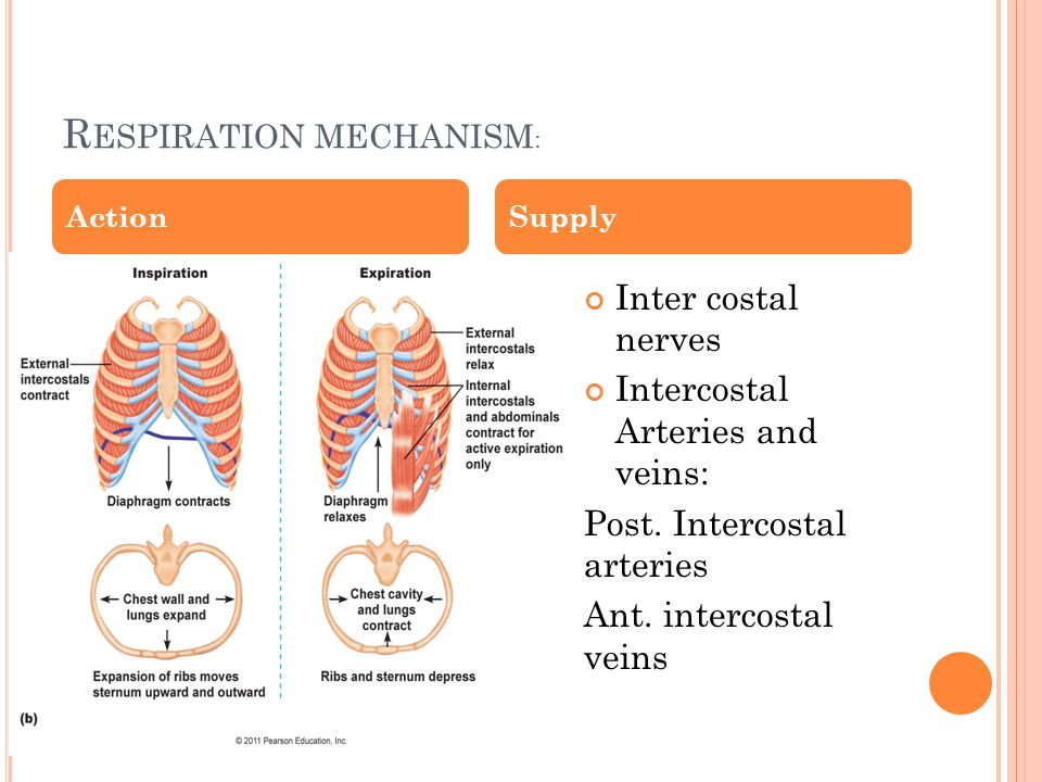 Respiration mechanism: