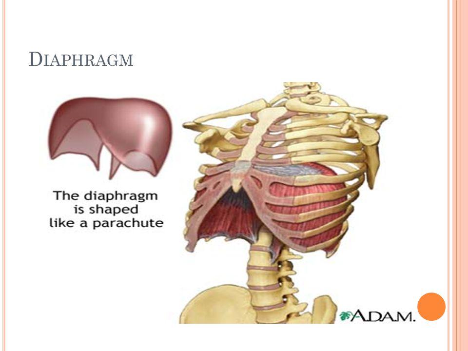 Diaphragm