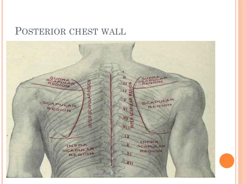 Posterior chest wall anatomy