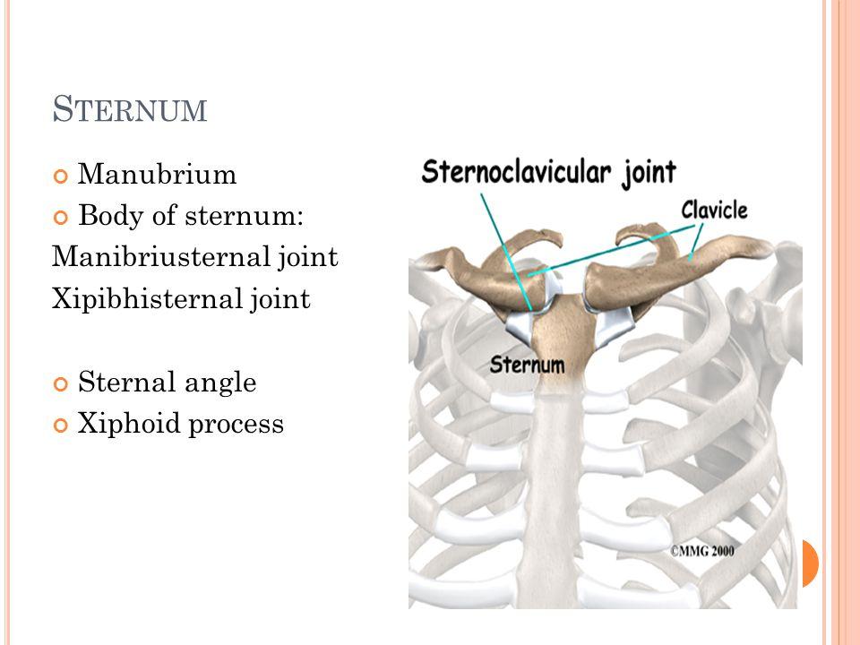 Sternum Manubrium Body of sternum: Manibriusternal joint