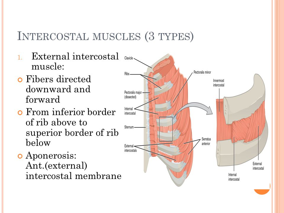 Intercostal muscles (3 types)