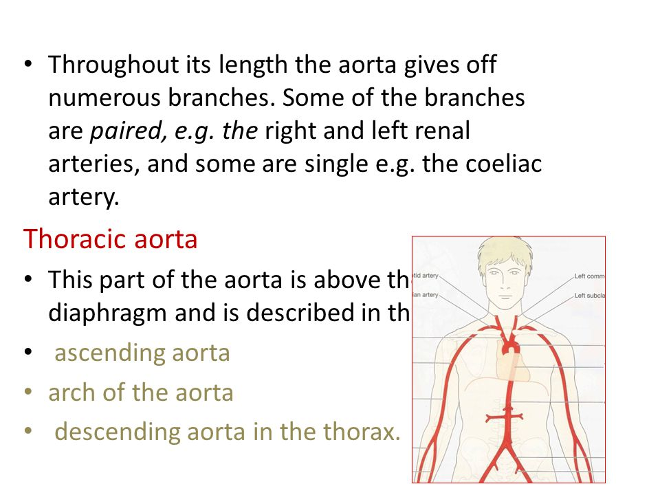Throughout its length the aorta gives off numerous branches