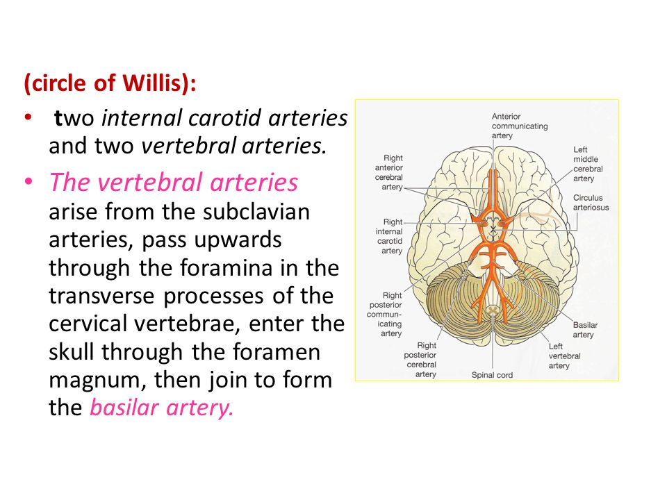 (circle of Willis): two internal carotid arteries and two vertebral arteries.