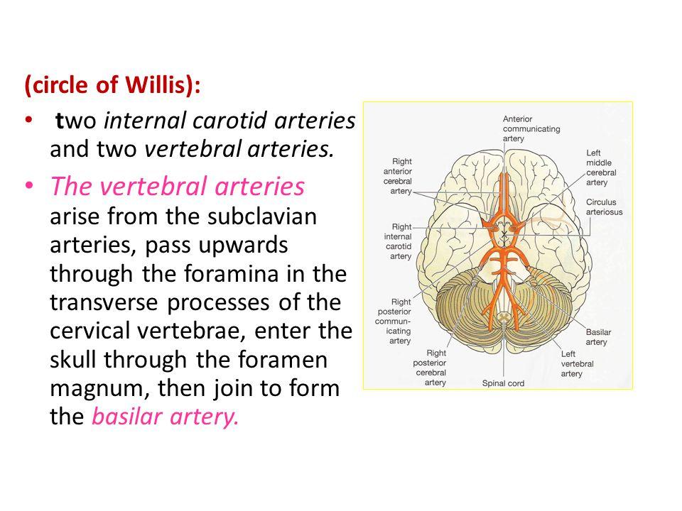 (circle of Willis): two internal carotid arteries and two vertebral arteries.