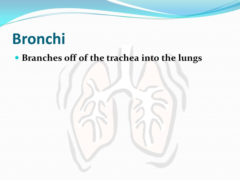 Bronchi Branches off of the trachea into the lungs