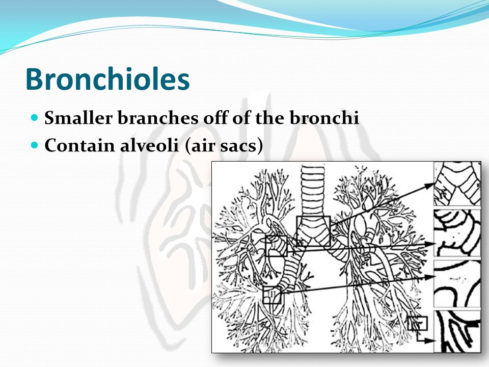 Bronchioles Smaller branches off of the bronchi