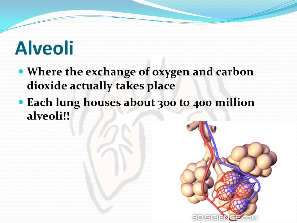 Alveoli Where the exchange of oxygen and carbon dioxide actually takes place.