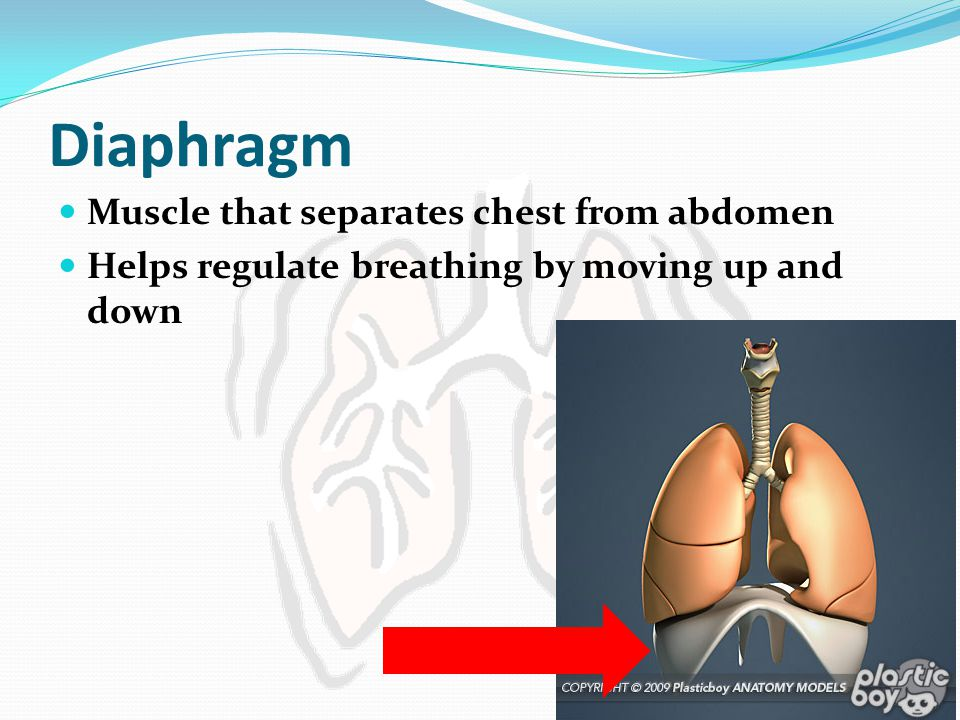 Diaphragm Muscle that separates chest from abdomen