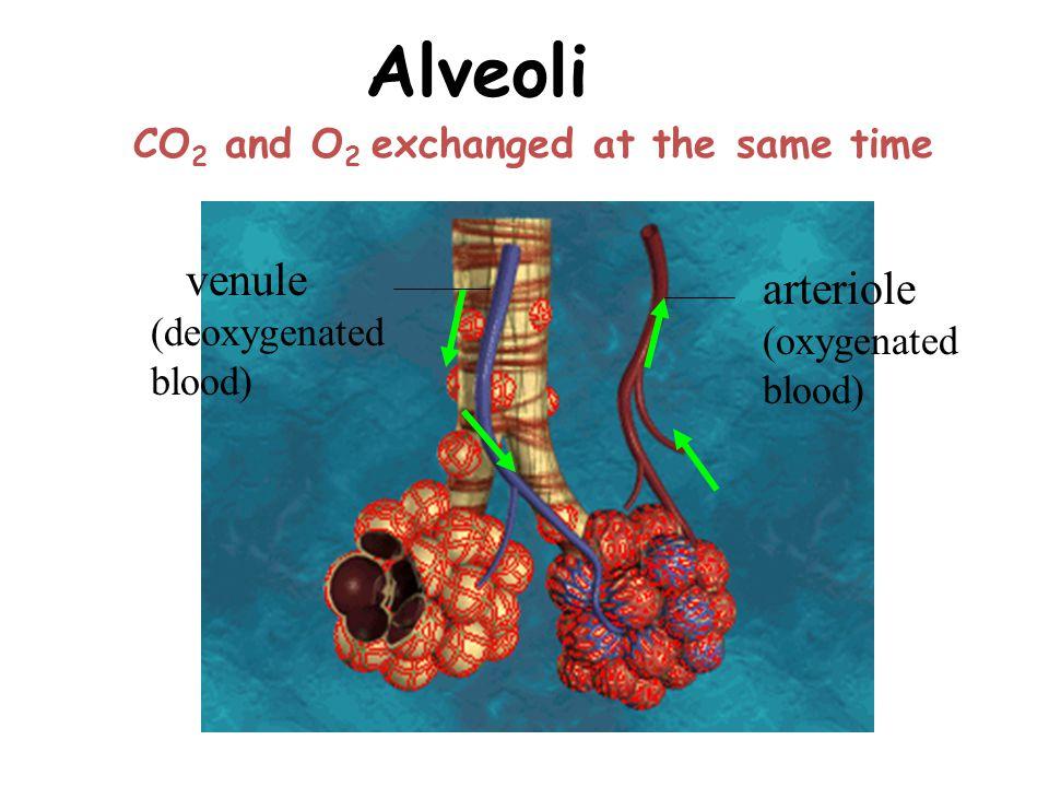 Alveoli venule (deoxygenated blood) arteriole (oxygenated blood)