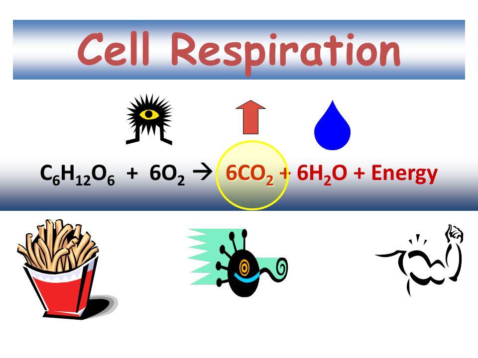 Cell Respiration C6H12O6 + 6O2  6CO2 + 6H2O + Energy
