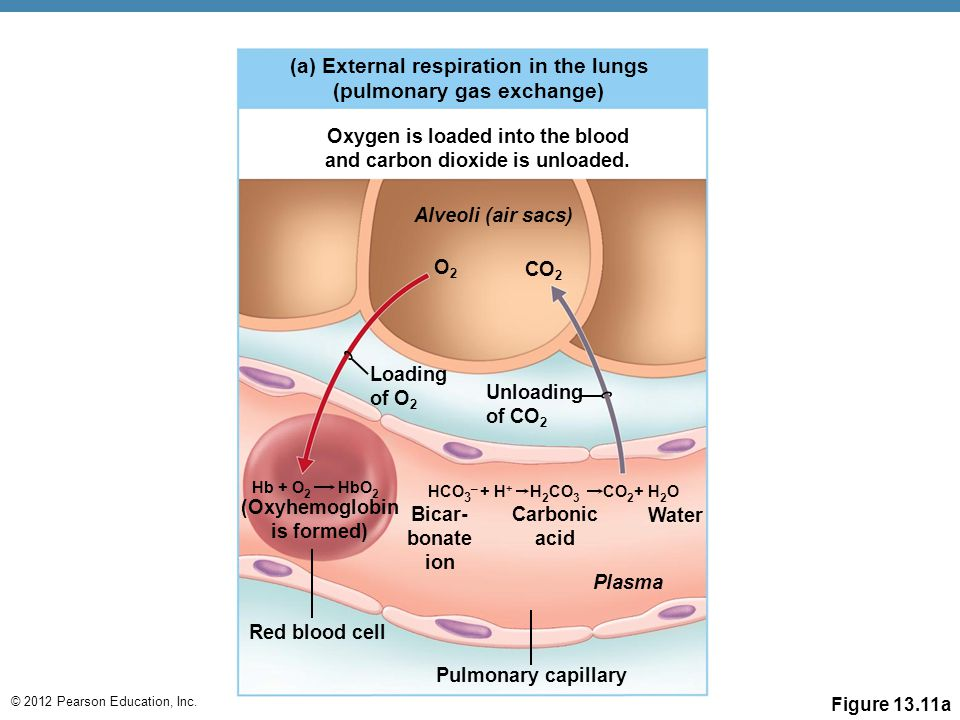 Oxygen is loaded into the blood and carbon dioxide is unloaded.
