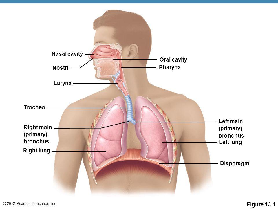 Nasal cavity Oral cavity. Nostril. Pharynx. Larynx. Trachea. Left main. (primary) bronchus. Right main.