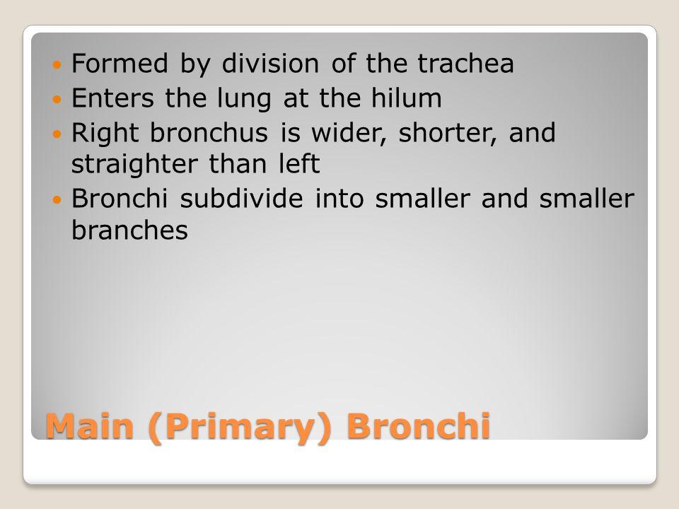 Main (Primary) Bronchi