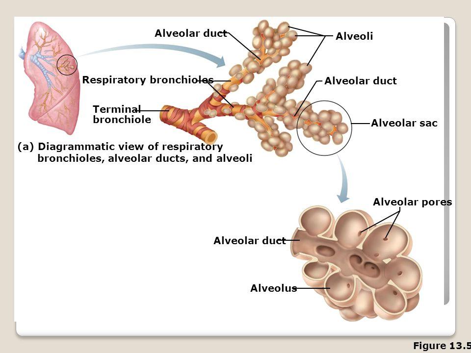 Respiratory bronchioles Alveolar duct