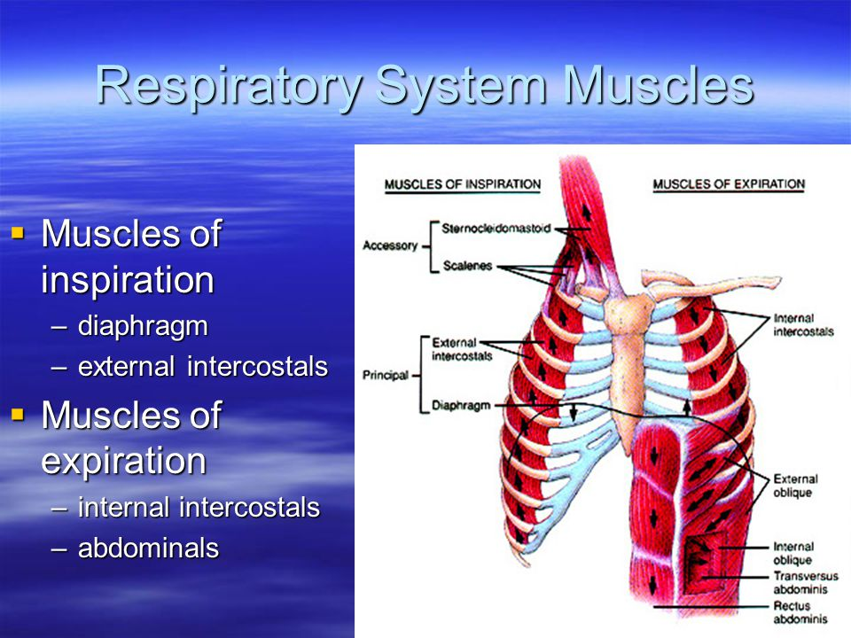 Respiratory System Muscles
