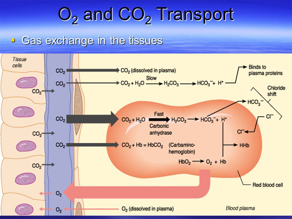 O2 and CO2 Transport Gas exchange in the tissues