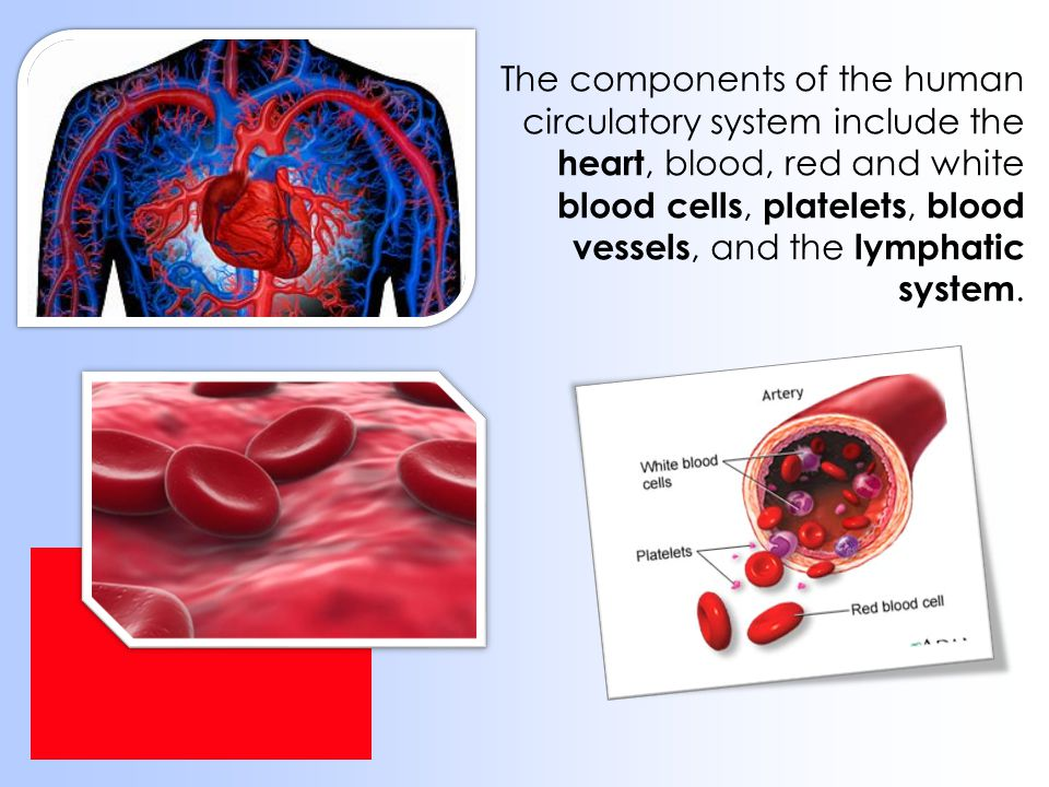 The components of the human circulatory system include the heart, blood, red and white blood cells, platelets, blood vessels, and the lymphatic system.