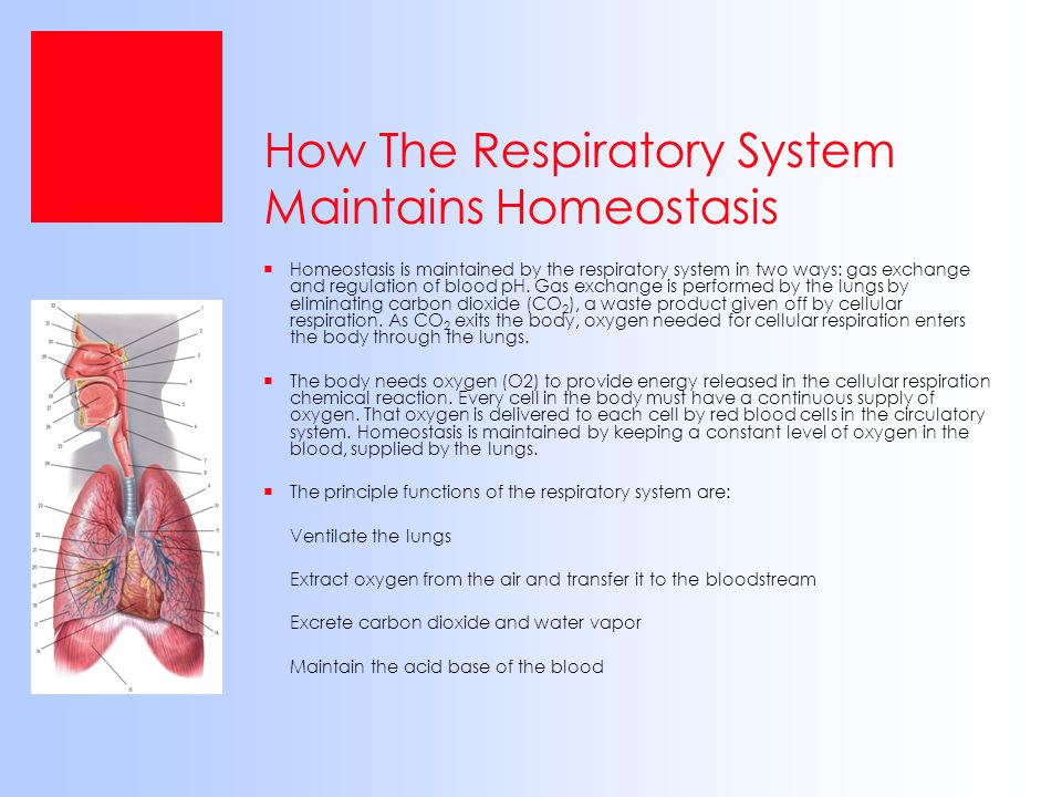 How The Respiratory System Maintains Homeostasis