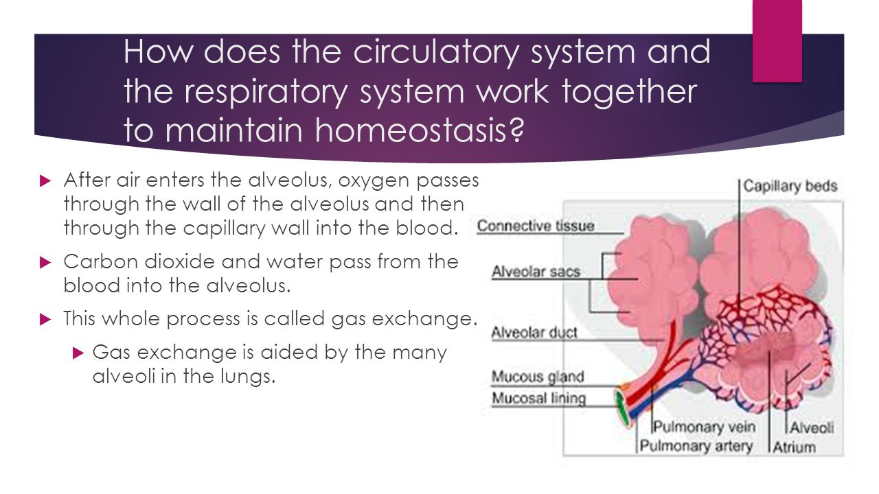 How does the circulatory system and the respiratory system work together to maintain homeostasis