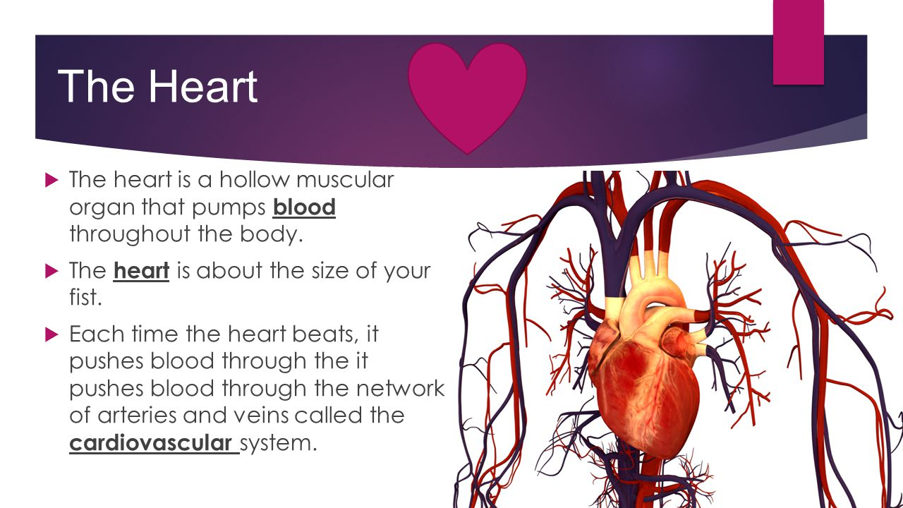The Heart The heart is a hollow muscular organ that pumps blood throughout the body. The heart is about the size of your fist.